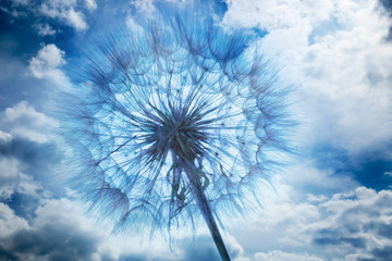 Fototapeta Dmuchawce close up of dandelion