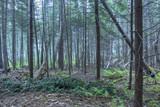 Gęsty sosnowy las