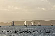 Sail Boats And Black Swans On Lake Macquarie, Australia