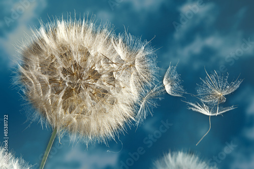 Fototapety, obrazy: Close up of dandelion spores blowing away