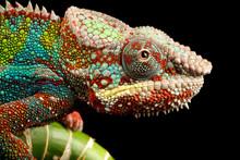 Blue Bar Panther Chameleon Mac...