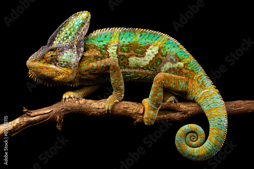 Obraz Side on picture of a yemen chameleon isolated on a black background - fototapety do salonu