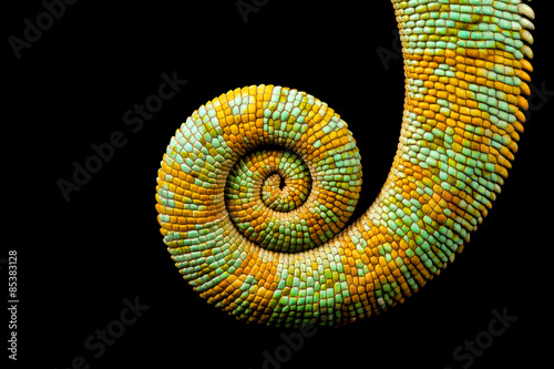 A curled up tail of a yemen chameleon isolated on a black background