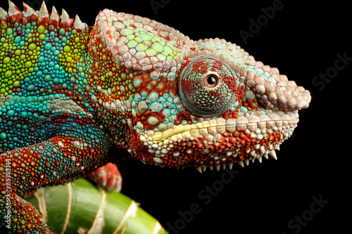 blue bar panther chameleon macro of head isolated against a black background