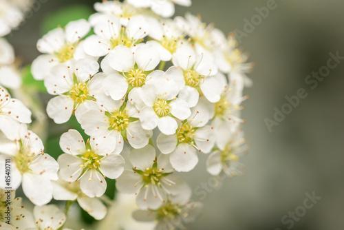 Small white flowers blossom in spring garden buy this stock photo small white flowers blossom in spring garden mightylinksfo