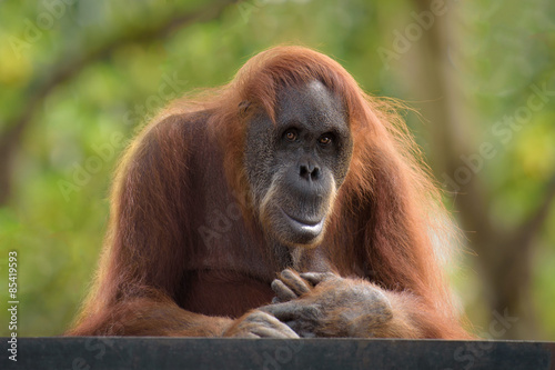 Fotobehang Leeuw Adult orangutan looking straight in camera