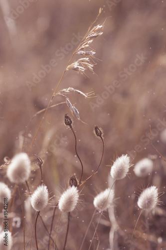 dziki-mniszek-trawa