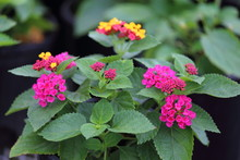 A Close Up View Of Irene Lantana In Full Bloom With Purple And Yellow Flowers.