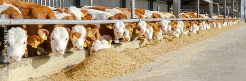 Fotografie, Obraz  Rindermast - Aussenklimastall, Fleckviehbullen fressen Maissilage