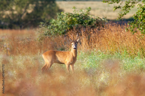 In de dag Ree Roe deer buck