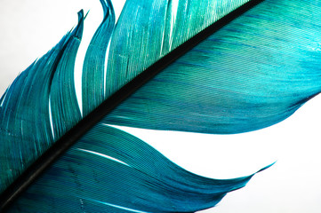 turquoise feather of an angel, isolated background