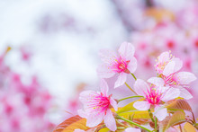 Wild Himalayan Cherry Flower With Sky Background