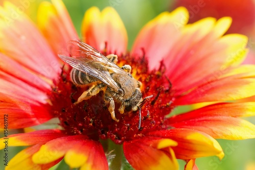Aluminium Prints Bee Big bee on the red flower