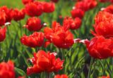 Piękne czerwone tulipany