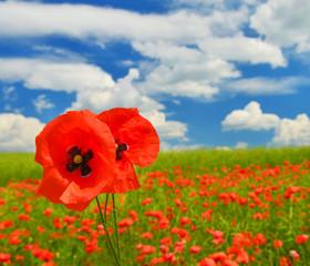 Panel Szklany Krajobraz Poppies