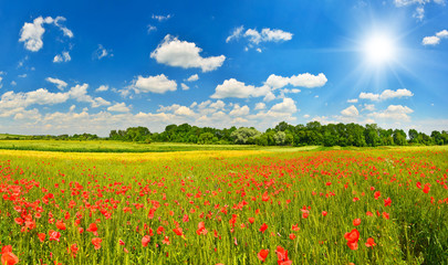 Fototapeta Summer meadow with poppies