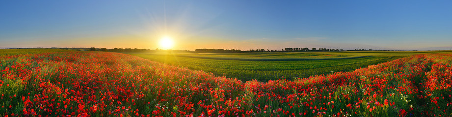 Fototapeta Panorama of poppy field in sunrise countryside