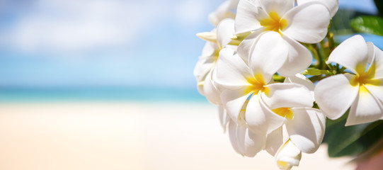Fototapeta Egzotyczne White tropical flower over beautiful beach