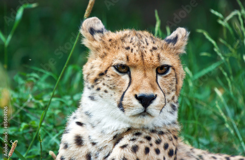 Photo  cheetah