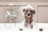 Fototapeta Zwierzęta - Funny Dog Taking Bubble Bath