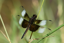 Male Widow Skimmer Dragonfly R...