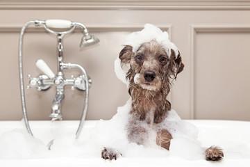 Fototapeta Funny Dog Taking Bubble Bath