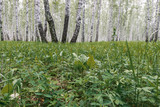 Widok na brzozowy las