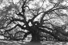 Angle Oak Tree –  Majestic Live Oak Angle Tree In Black And White