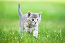 Little Grey Kitten Walking In The Yard