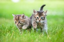Two Little Tabby Kittens Walki...