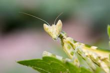 Green Adult Female Of Praying Mantis
