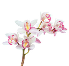 Beautiful White Cymbidium Flow...