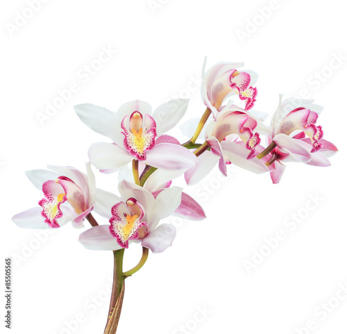 Montage in der Fensternische Orchideen Beautiful white cymbidium flower orchid close up isolated on white background