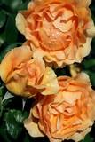 Jasne róże w ogrodzie