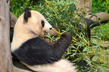 Fototapeta Giant panda bear at Vienna Zoo, Austria