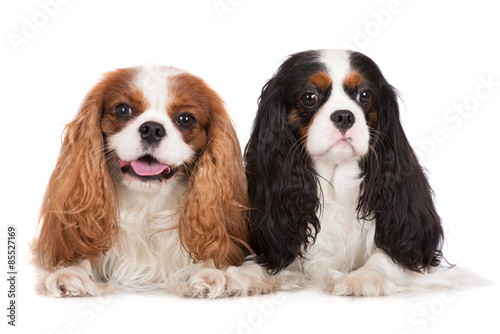 Fotografia two cavalier king charles spaniel dogs on white