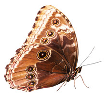 Brown Butterfly Isolated On The White Background