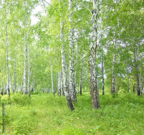 Fototapeta birch forest obraz na płótnie