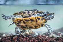 Red-eared Slider Swimming In T...