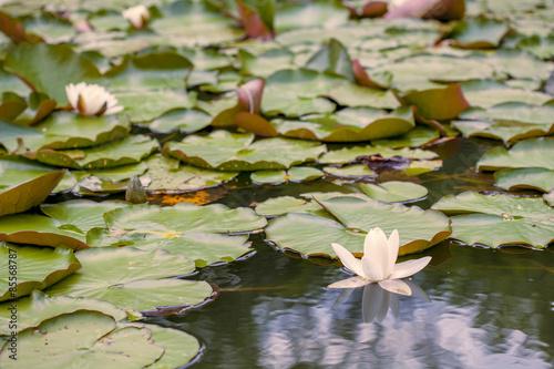 Fotografie, Obraz  Jezero Lotus
