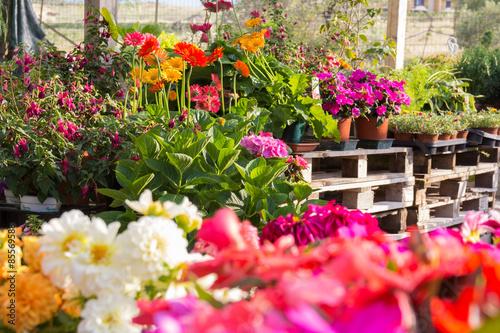 Obraz na płótnie Flowers at the florist. Petunias, marigolds, fuchsias
