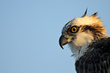 Osprey Profile Portrait. Sharm El-Sheikh, Egypt