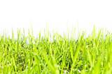 Fresh green grass on white