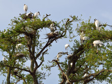Wood Storks Nesting In The Wil...