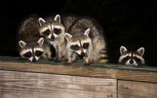 Four Cute Baby Raccoons On A D...