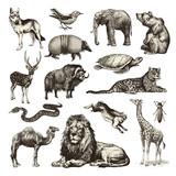 wild animals - collection of wildlife illustrations