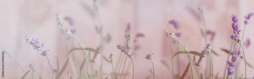 Fototapety, obrazy: Lavendel, Bokeh