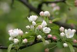 Fototapeta Kwiaty - Kwitnące drzewa, kwiaty na gałęziach drzew, pąki