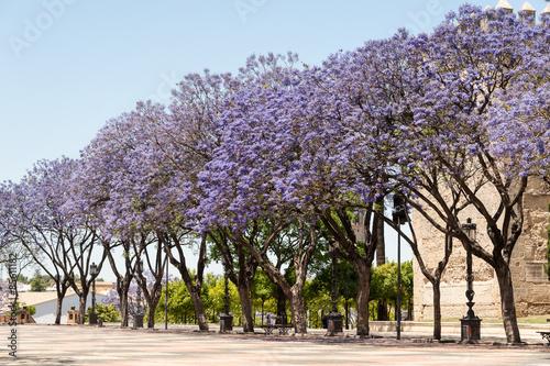 Jacaranda trees jerez