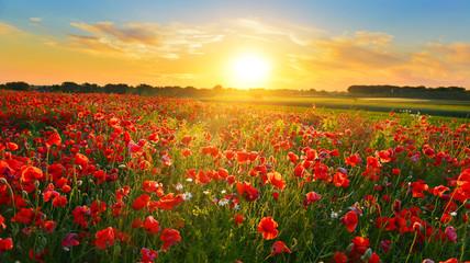 Fototapeta Poppy field at sunrise in summer countryside